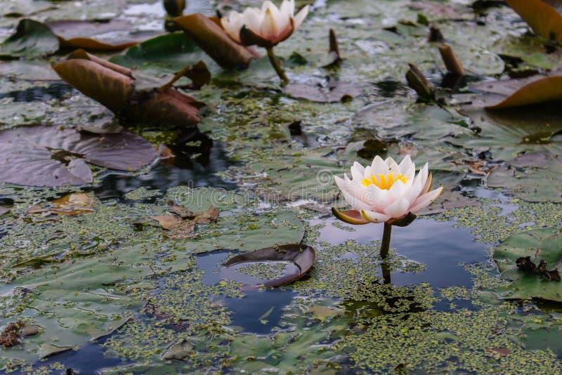 Nénuphars roses dans l'étang d'été Lotus de floraison avec de grandes feuilles Concept de nature d'?t? Nature de terre de marais image libre de droits