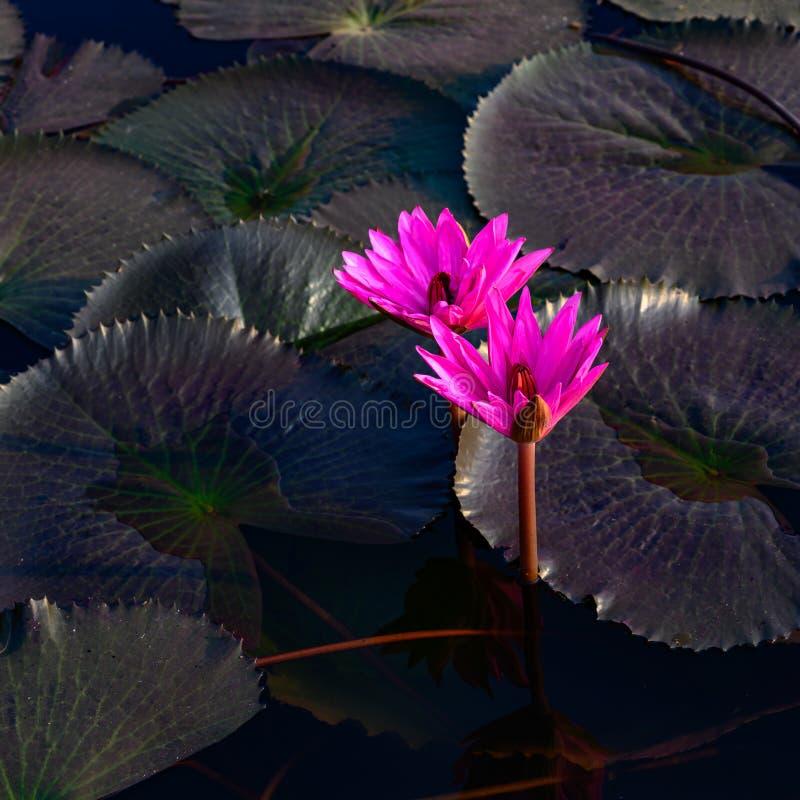 Nénuphars rougeoyants roses - Nymphaea - avec les feuilles foncées sur l'étang photo libre de droits