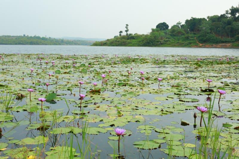 Nénuphars sur le lac avec le paysage photos stock