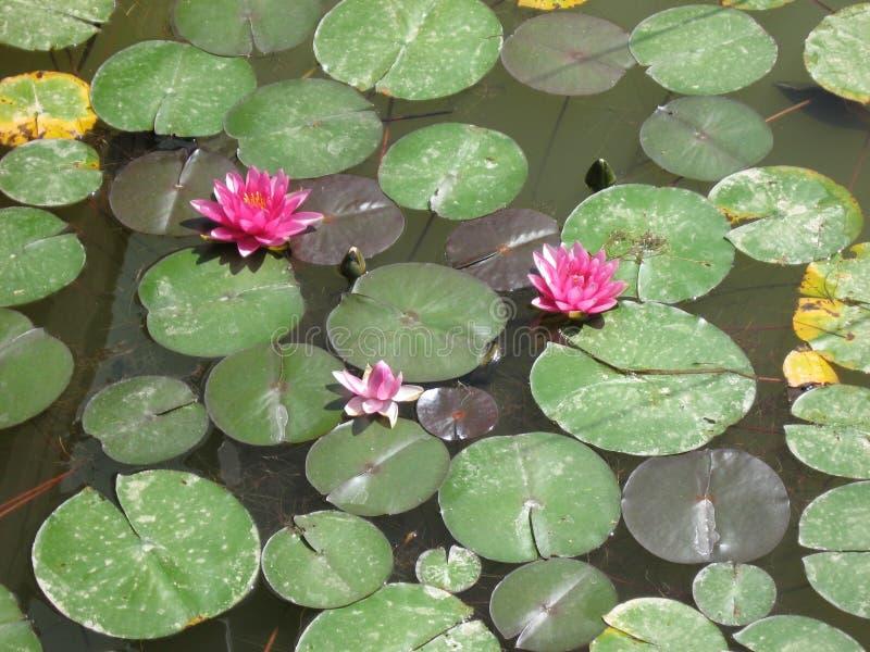 Nénuphars sur un étang images libres de droits