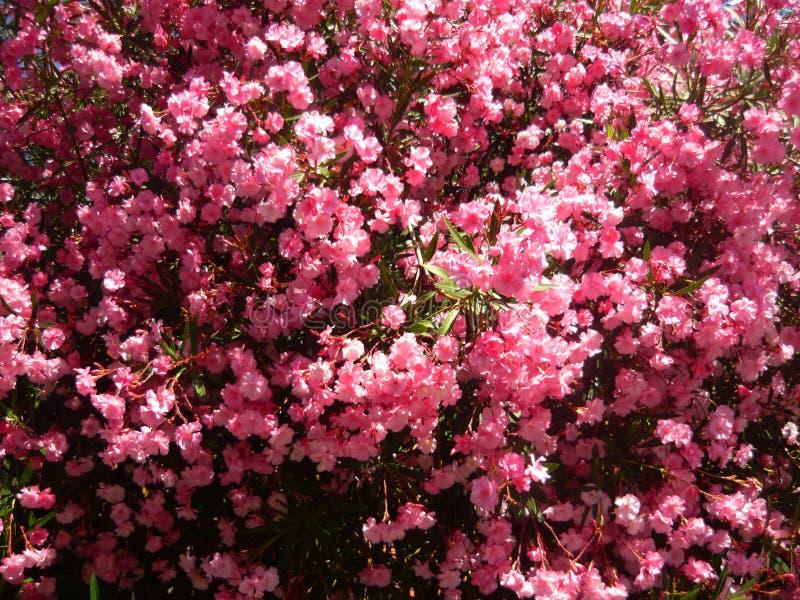 Nérium rosado magnífico arbusto Flores del adelfa de Beautioful fotos de archivo