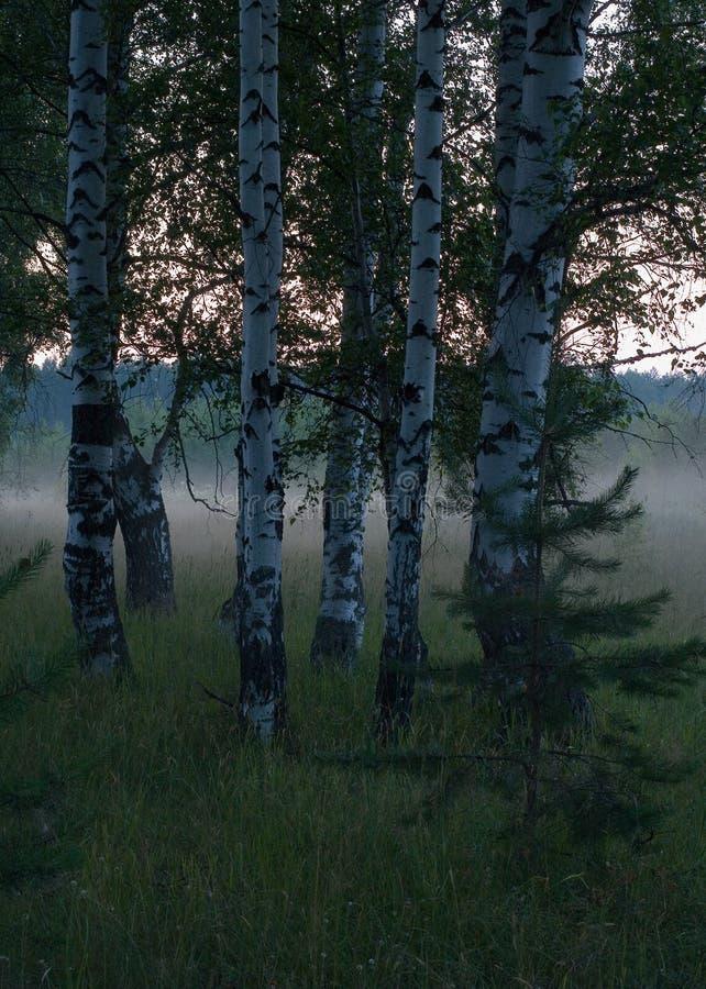 Névoa e a floresta 3 fotos de stock royalty free