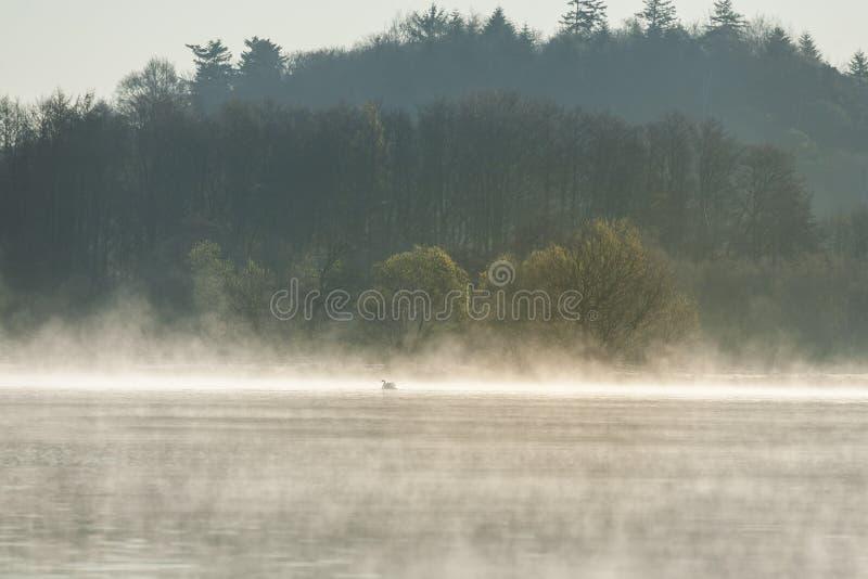 Névoa em um lago com uma cisne branca na água imagens de stock royalty free