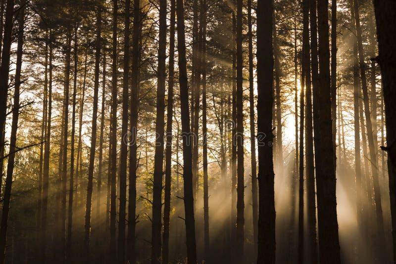 Névoa na madeira fotografia de stock royalty free