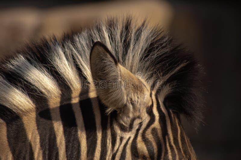 Nó da zebra imagens de stock