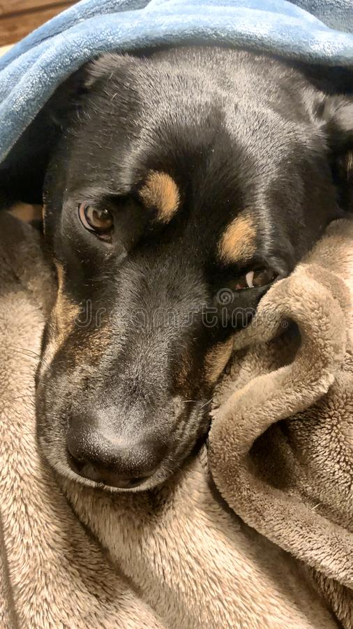 Nöjd Rottweiler hund arkivbild