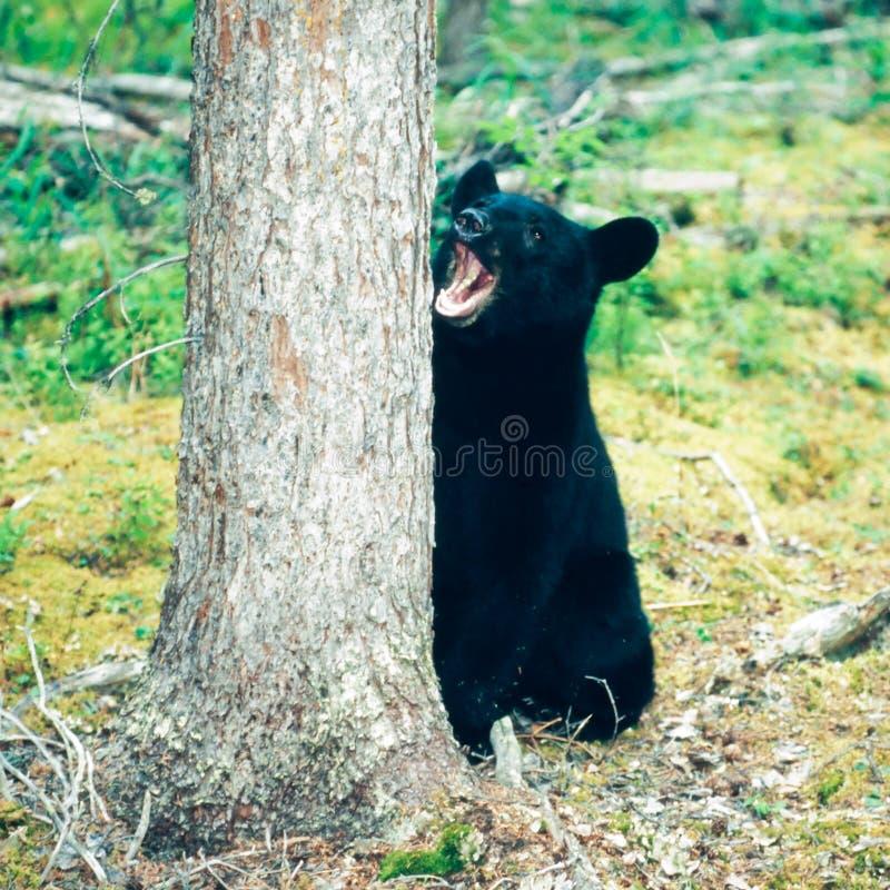 Nördlicher Wald schwarzer Bär Ursus-Yukons americanus lizenzfreies stockfoto