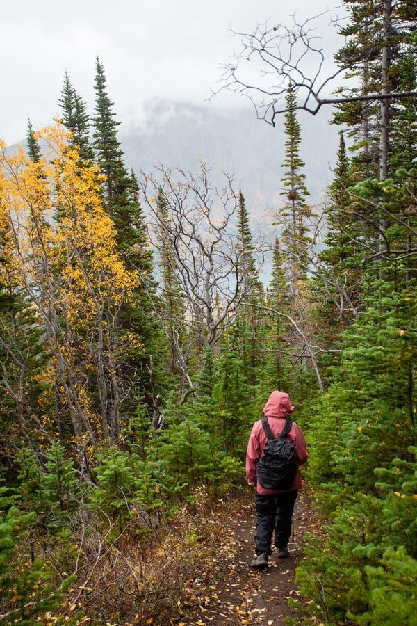 Nördliches taiga Wald des regnerischen Herbstfalles wandernd, schleppen Sie stockbild