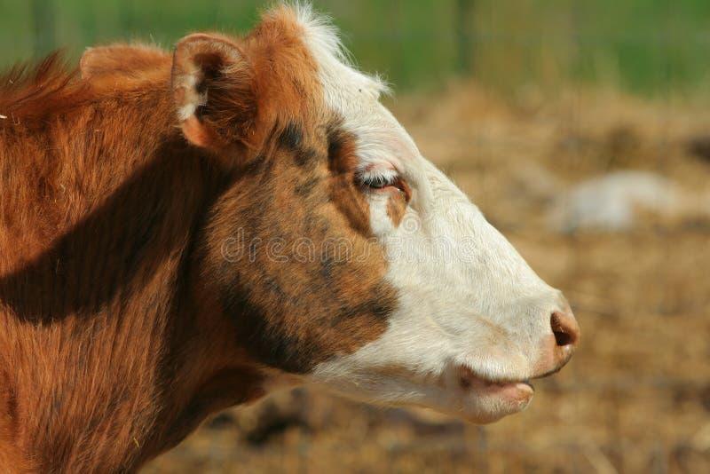 nötköttkon vände white mot royaltyfri bild