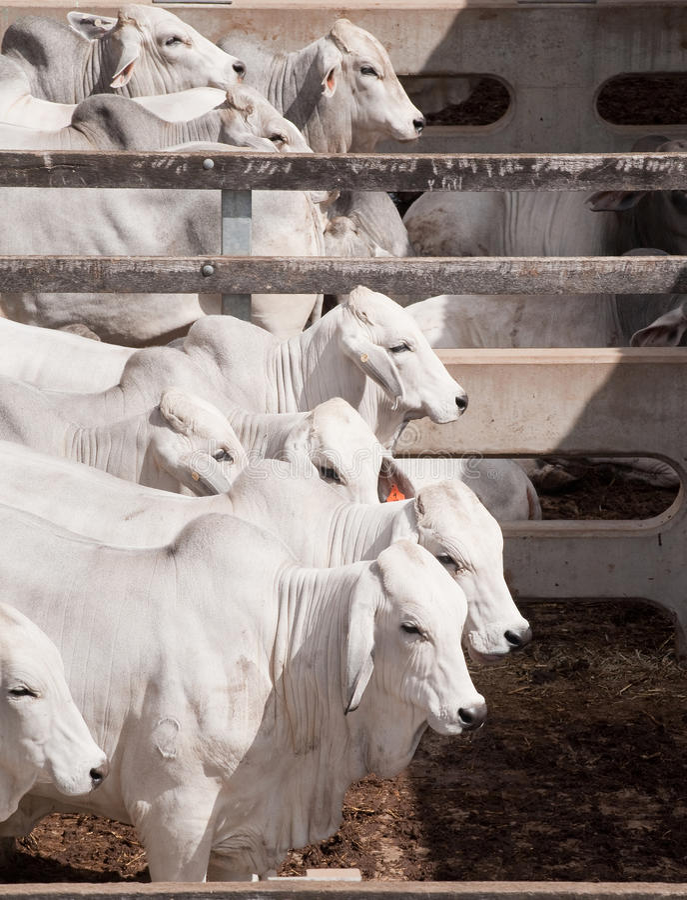 nötköttnötkreatur arkivfoton
