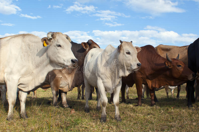 Nötköttnötkreaturflock i sommar arkivbilder