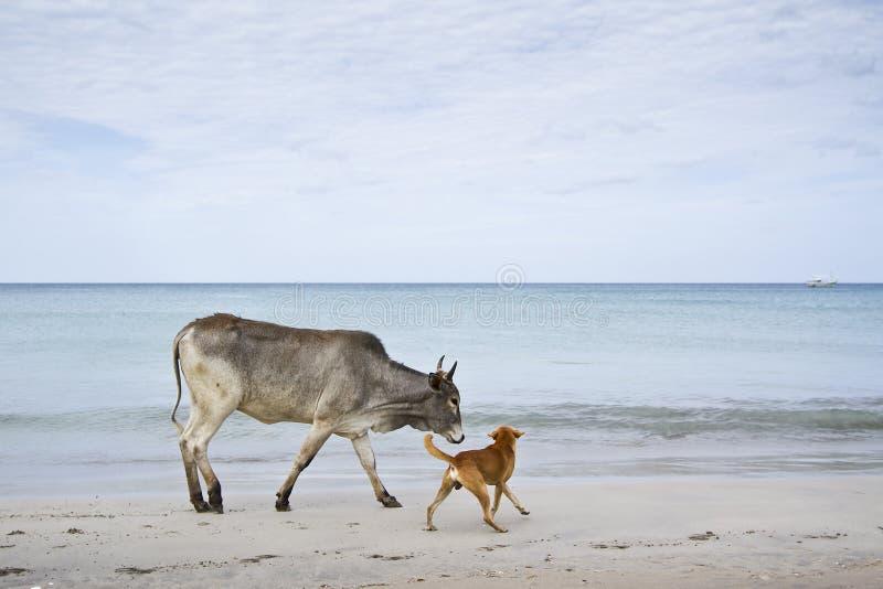 Nötkreatur i den Uppuveli stranden, Sri Lanka royaltyfria bilder