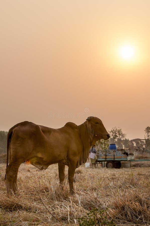 Nötkreatur i The Field på morgonen fotografering för bildbyråer