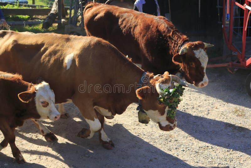 Nötkreatur kor, kalvar och tjurar som smyckas med blommor, betar drev arkivbild