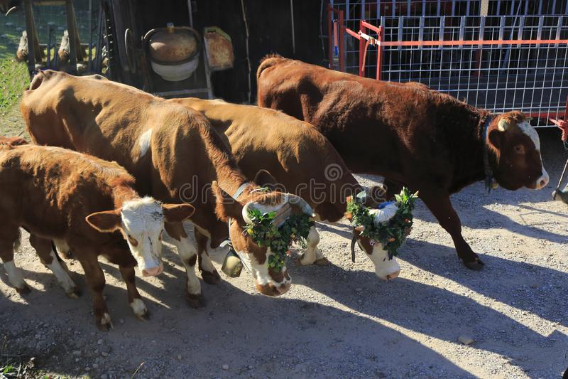 Nötkreatur kor, kalvar och tjurar som smyckas med blommor, betar drev royaltyfria bilder