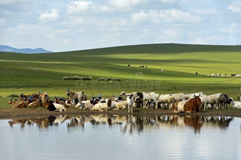 Nötkreatur och får på ett vattenhål i den mongoliska stäppen royaltyfri foto