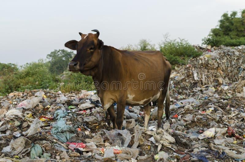 Nötkreatur och föroreningen arkivfoton