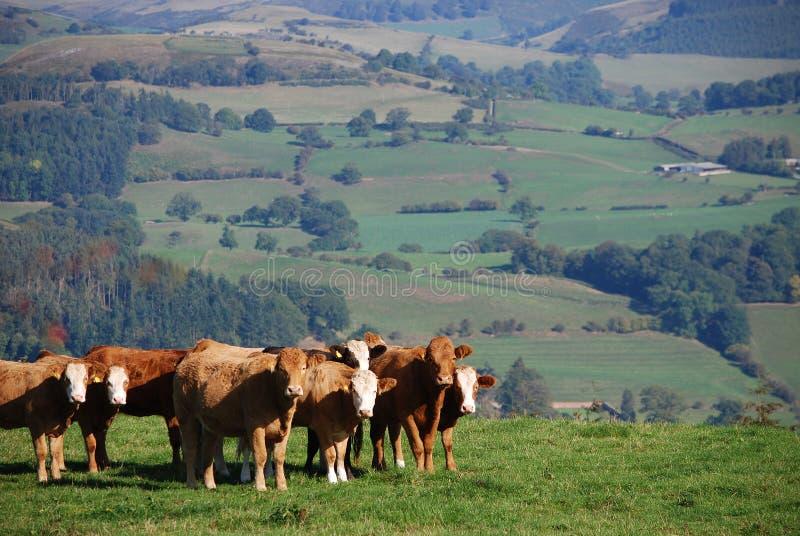 Nötkreatur på en walesisk lantgård arkivbilder