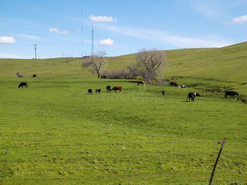 Nötkreatur som betar på den borttappade Folsom ranchen royaltyfria bilder