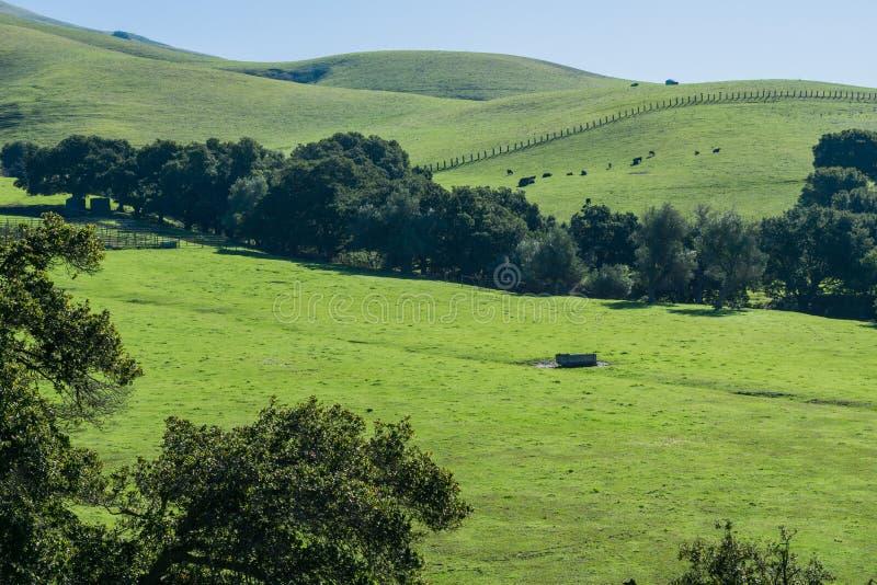 Nötkreatur som betar på dolda kullar för gräs, maximal slinga för beskickning, södra San Francisco Bay, Kalifornien arkivbild