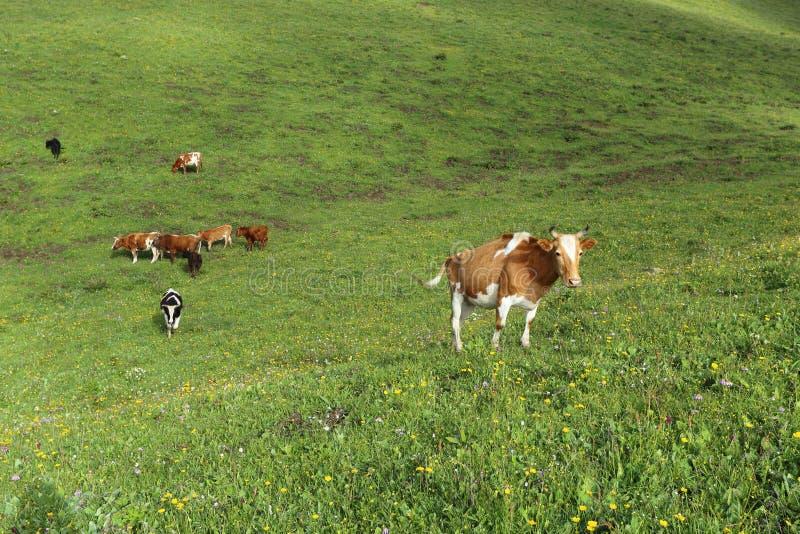 Nötkreatur som betar på grässlätten för högt berg arkivfoton
