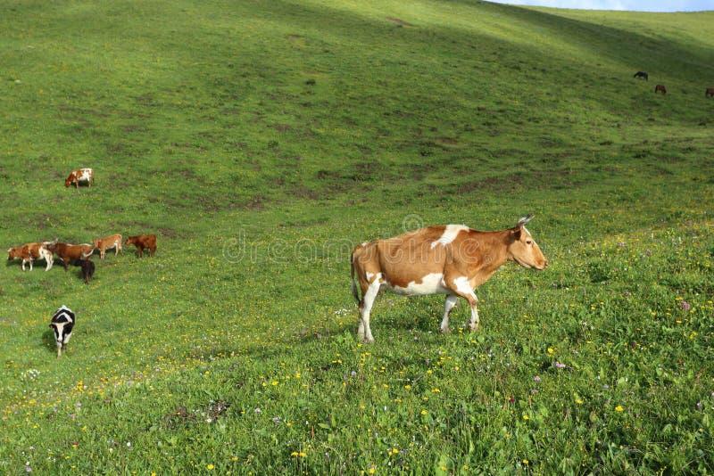 Nötkreatur som betar på grässlätten för högt berg royaltyfri foto