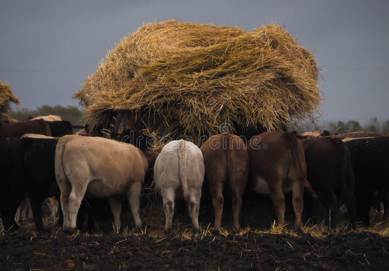 Nötkreatur som matar på ho, jordbruks- plats i landet royaltyfria foton