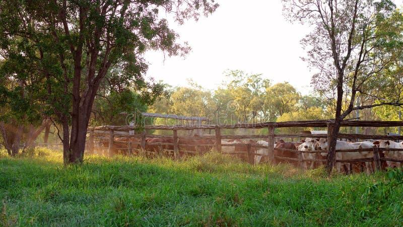 Nötkreatur som skrivas i gårdar i Australien royaltyfria bilder