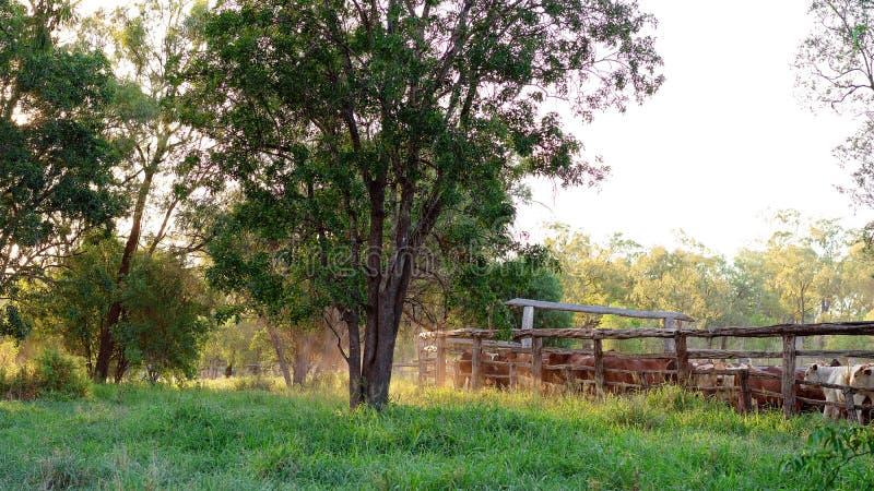 Nötkreatur som skrivas i gårdar i Australien fotografering för bildbyråer