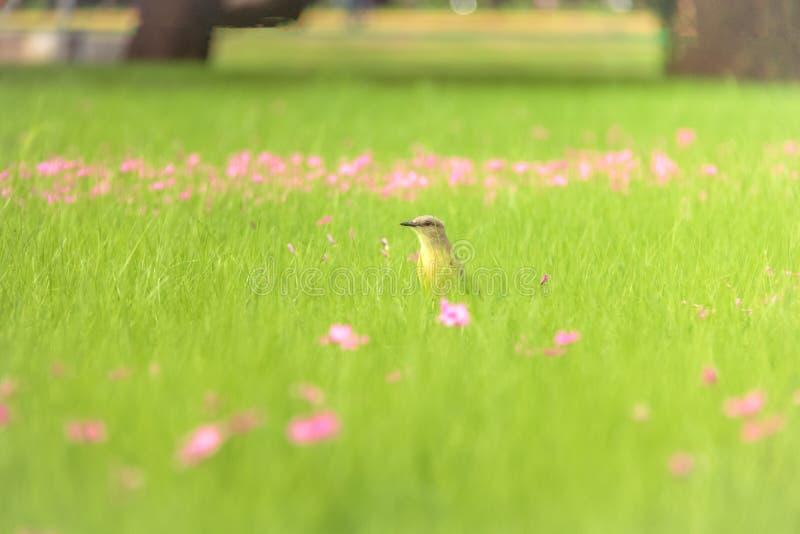 Nötkreaturdespotfågeln på ett högt fält för gräsgräsplan med rosa färger blommar på Bosques de Palermo - Buenos Aires, Argentina royaltyfria bilder