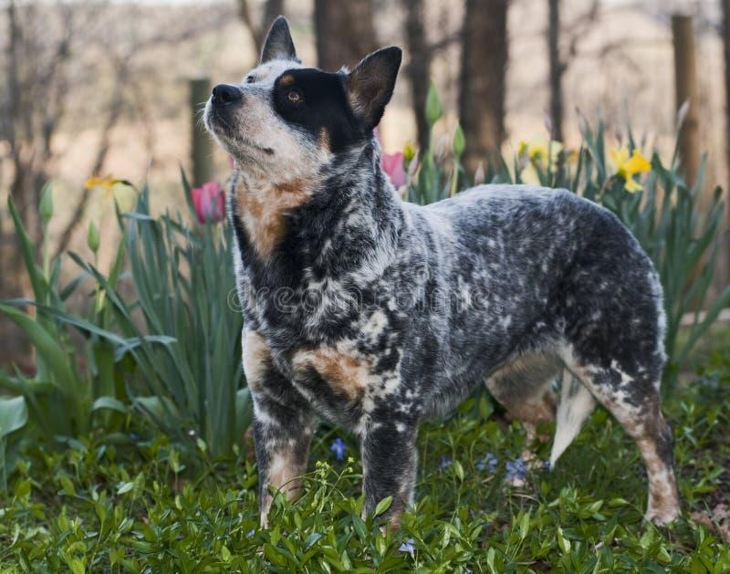 Nötkreaturhund royaltyfria foton