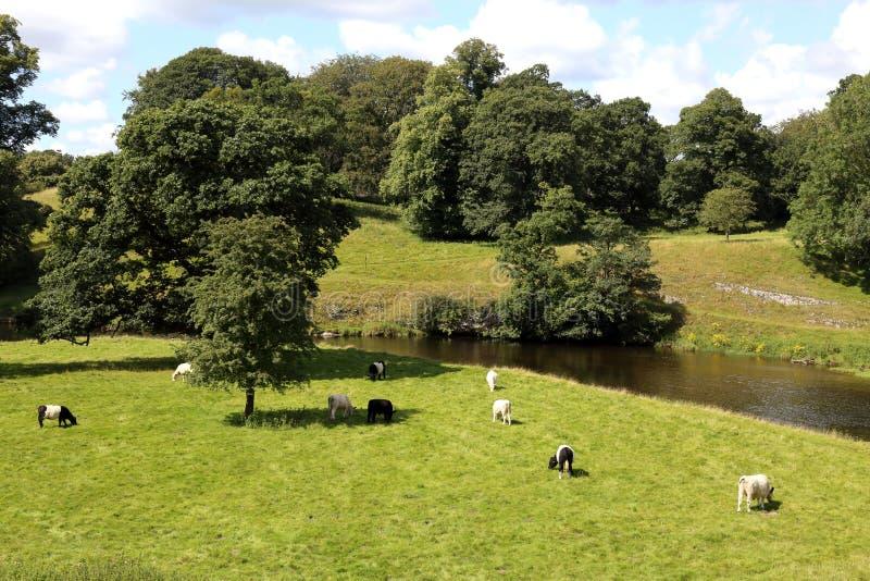 Nötkreatursbete på den vackra engelska landsbygden arkivbilder