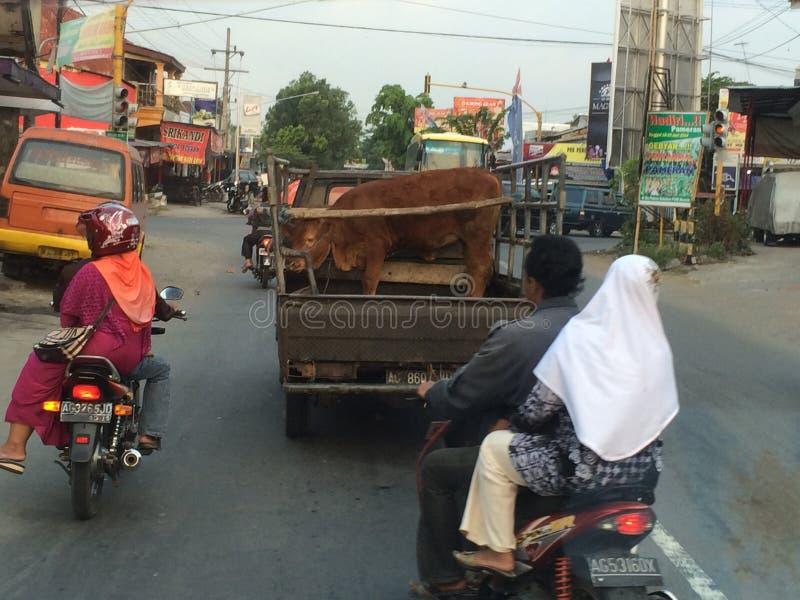 Nötkreaturtransport, Indonesien royaltyfri bild