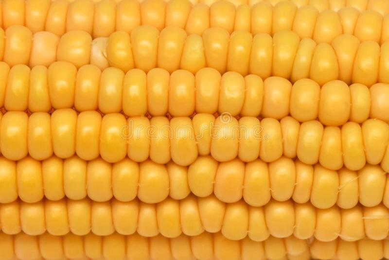 Núcleo de milho ceroso do close-up branco e amarelo em um fundo branco Close-up maduro amarelo do milho do ouro imagem de stock royalty free
