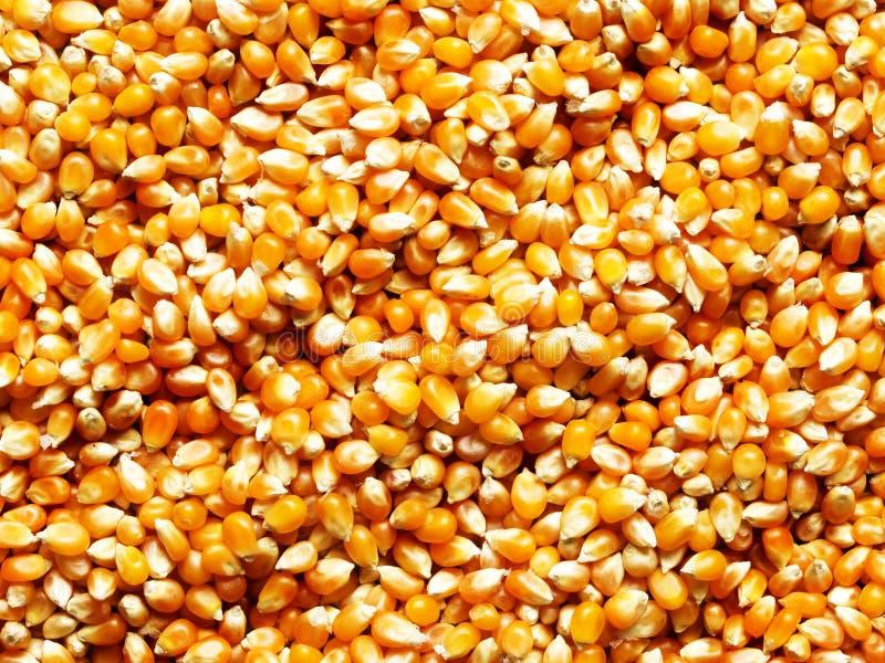 Núcleos de maíz imagen de archivo