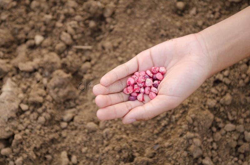 Núcleos de milho disponível para cultivar fotos de stock