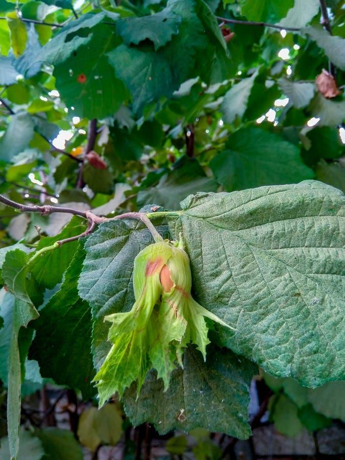 Nüsse und Baumblätter im Sommergarten lizenzfreie stockbilder