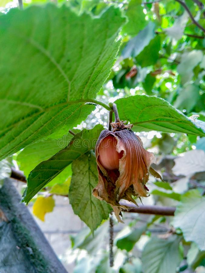 Nüsse und Baumblätter im Sommergarten lizenzfreie stockfotografie