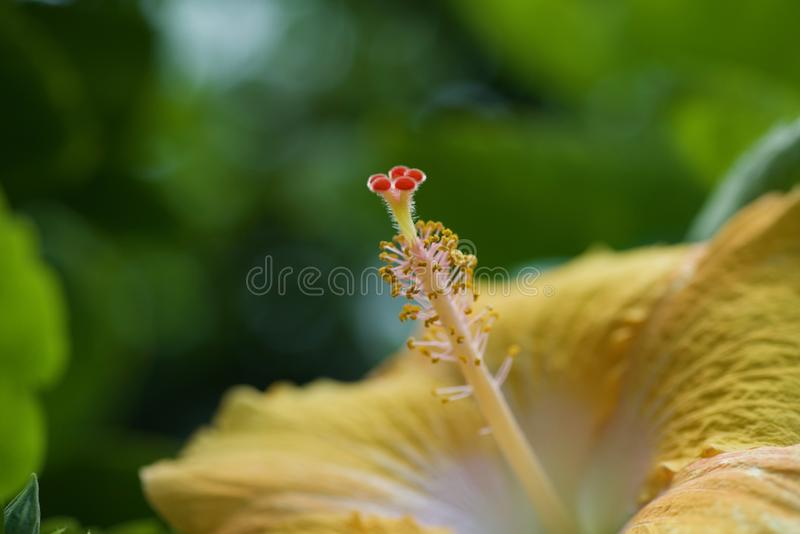 N?ckros som blommar i Hawaii royaltyfria bilder