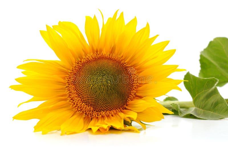 ??n gele zonnebloem stock foto