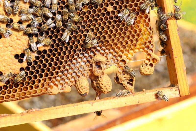 N?gra honungbin fotografering för bildbyråer