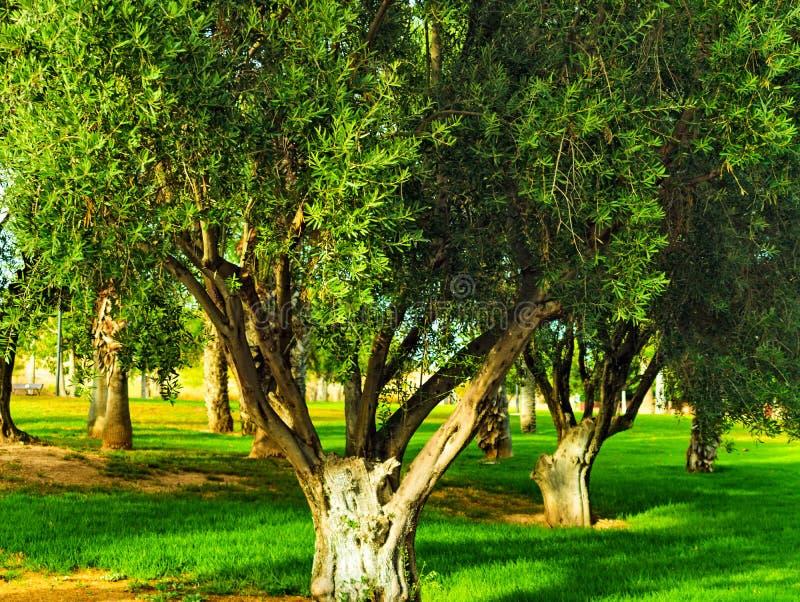 N les parcs de la ville de Murcie, vous pouvez voir l'olive sauvage image libre de droits