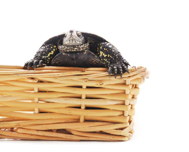 ??n mooie schildpad in de mand stock foto
