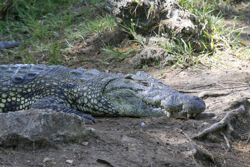 N?ra st?ende av Nilenkrokodilen, Crocodylusniloticusen, munnen och t?nder arkivfoton