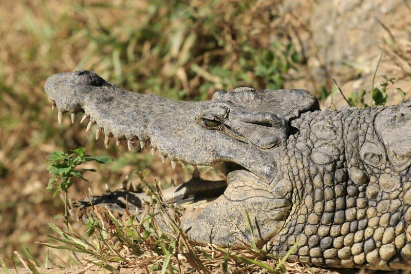 N?ra st?ende av Nilenkrokodilen, Crocodylusniloticusen, munnen och t?nder arkivbilder