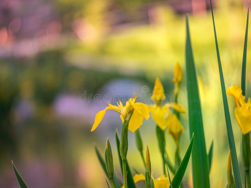 N?ra ?vre bild av nya blommor med reflexioner i vattnet arkivfoto