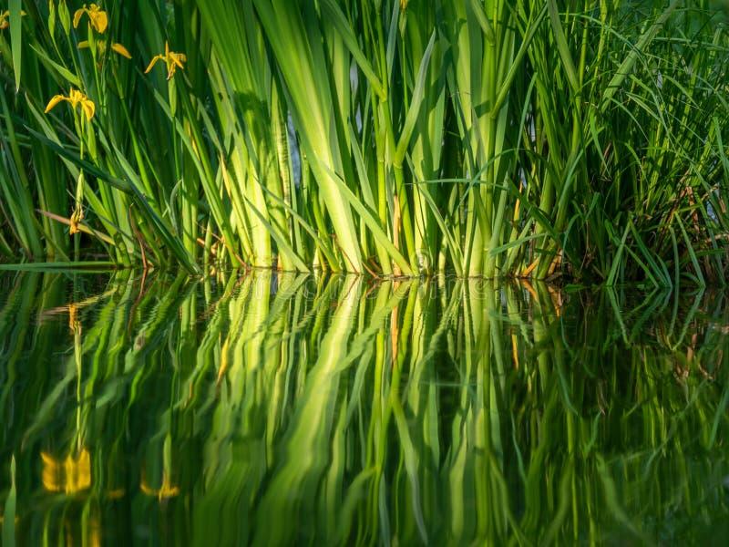 N?ra ?vre bild av nya blommor med reflexioner i vattnet fotografering för bildbyråer