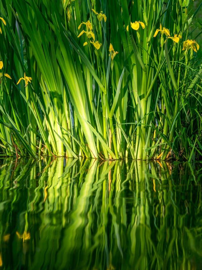 N?ra ?vre bild av nya blommor med reflexioner i vattnet arkivbilder