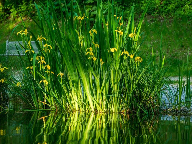 N?ra ?vre bild av nya blommor med reflexioner i vattnet arkivbild
