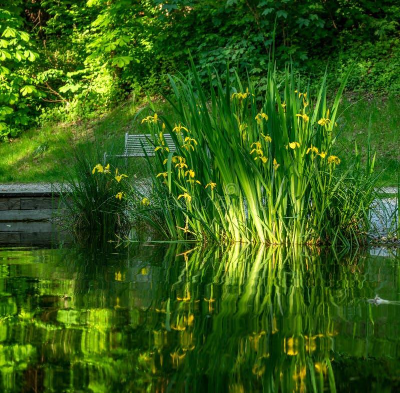 N?ra ?vre bild av nya blommor med reflexioner i vattnet arkivfoton